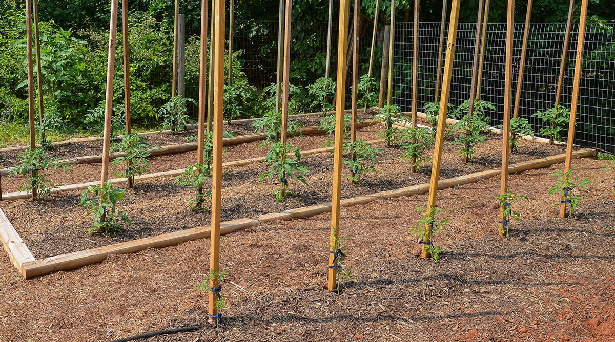 tomato Stakes in Tomato Farming