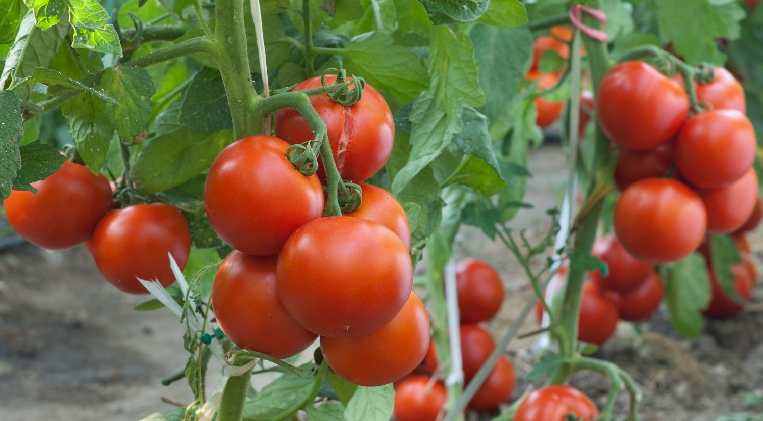 Complete Guide on How to Start Tomato Farming in Nigeria