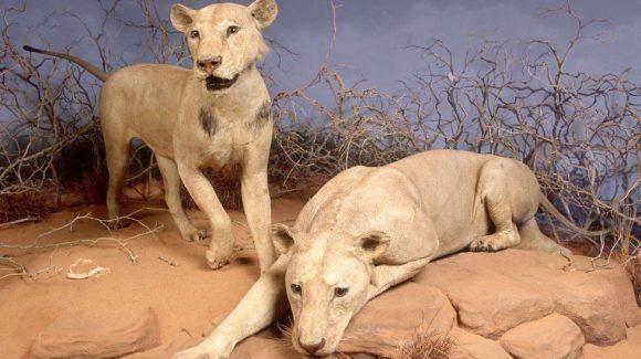 Man Eaters of Tsavo
